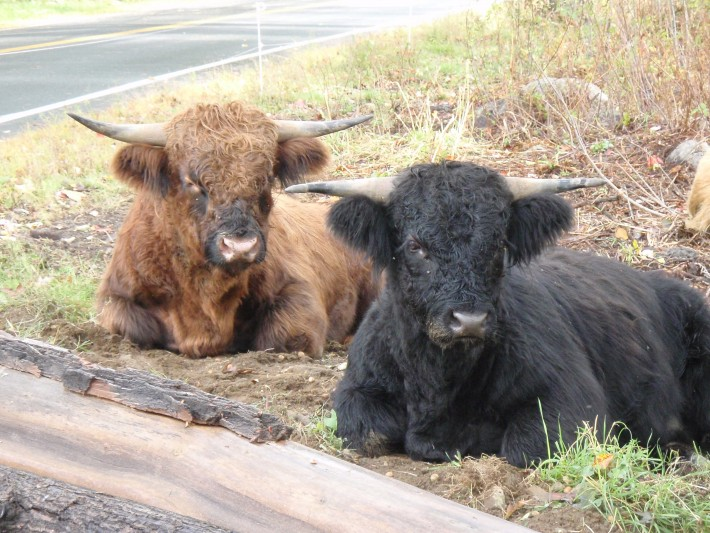 Highland-cattle-e1406727980275
